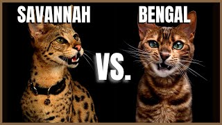 Savannah Cat VS. Bengal Cat