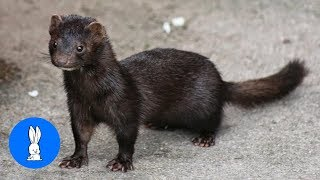 Minks Are The CUTEST Compilation