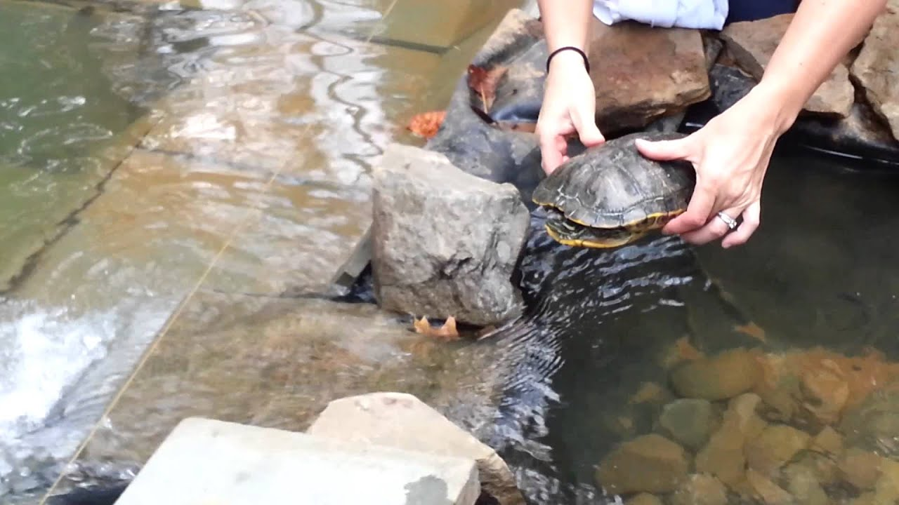 red eared slider turtles winter pond youtube