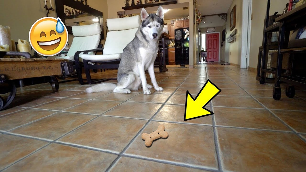 HUSKY OBEDIENCE CHALLENGE! - Is He a Good Boy or Not?
