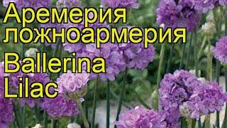 Армерия ложноармерия Ballerina Lilac. Краткий обзор, описание характеристик, где купить саженцы
