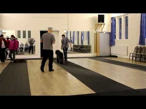 (Paddy) Bouvier des Flandres Heelwork Exercise