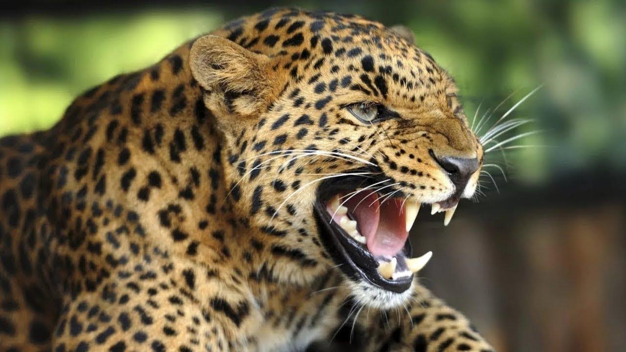Leopard Sounds   Leopard Roar - YouTube