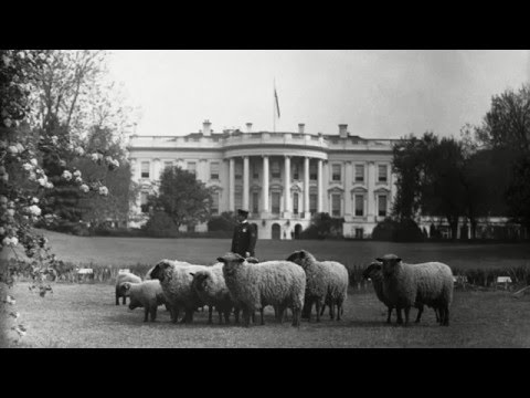 Why did President Woodrow Wilson keep sheep at the White House?