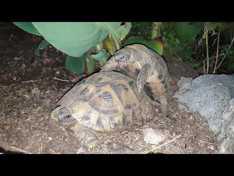 Turtles haveing sex