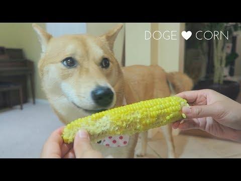 Doge LOVES Corn on the Cob | Shiba Inu Taste It Tuesday