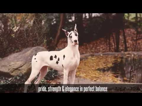 The Great Dane story