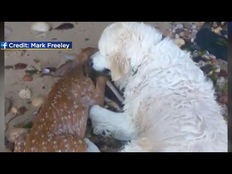Dog helps rescue deer from water