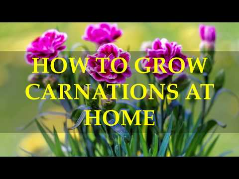 HOW TO GROW CARNATIONS AT HOME