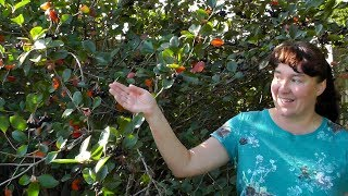 Черноплодная рябина - полезная ягода!