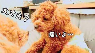 去勢手術を受けました!Rasuくんを心配するTaruちゃん。 トイプードルのTaruto&Rasuku
