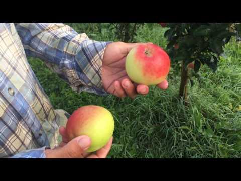 Колоновидные яблони сорт Валюта