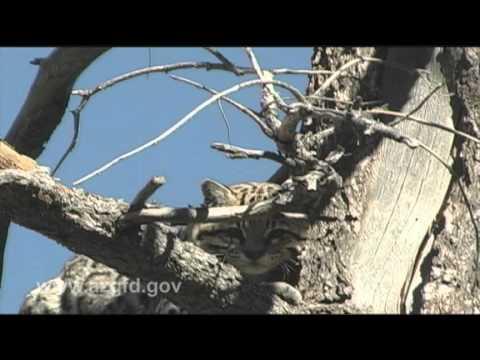 Arizona Ocelot