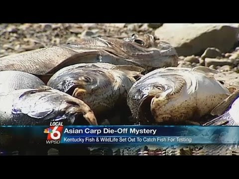 KENTUCKY WILDLIFE OFFICIALS BAFFLED AS 500,000 ASIAN CARP FOUND DEAD IN CUMBERLAND RIVER FRIDAY