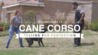 CANE CORSO: PROTECTION TESTING THE BREED