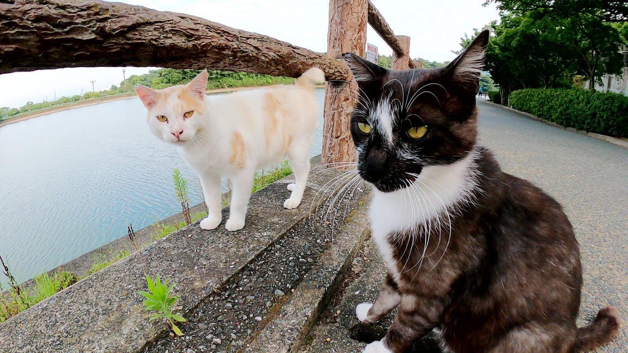 黒マスク猫がモフられていると、気になって寄ってくる凶暴な茶シロ猫