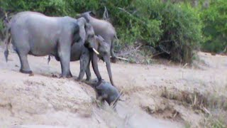 Elephants Help Calf That Can't Get Up the Ridge