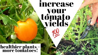 How To Prune Tomato Plants | healthier plants, increased yields