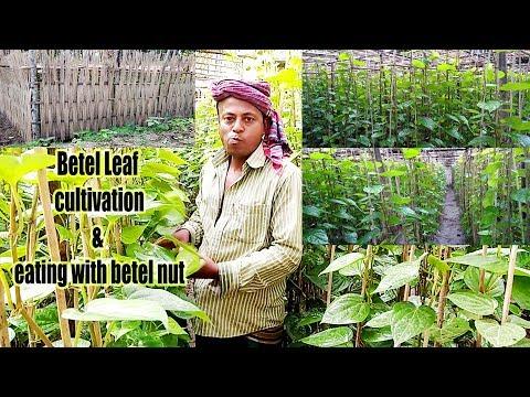 battle leaf cultivation growing / Betel Leaves Benefits / Paan ka