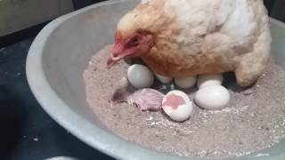 Hen birth