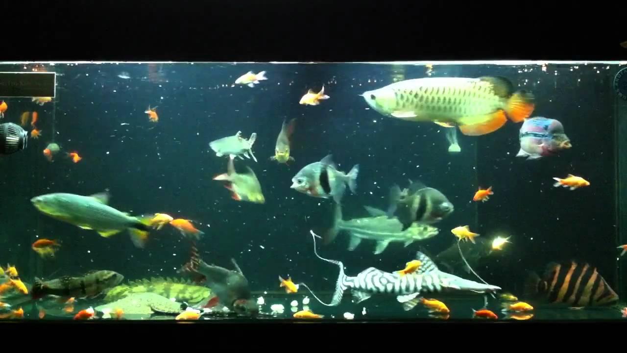 Predator comm update 170411 feeding youtube for Predatory freshwater fish