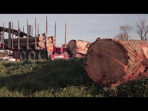 Le bois de chêne menacé en France?