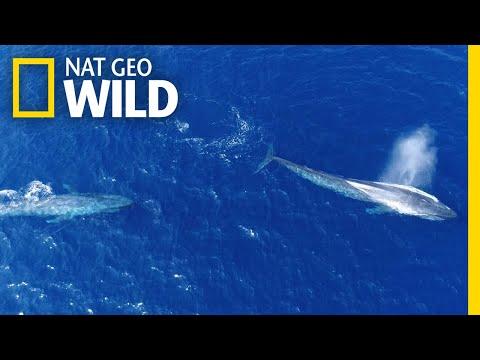 'Flirting' Blue Whales Caught on Camera   Nat Geo Wild