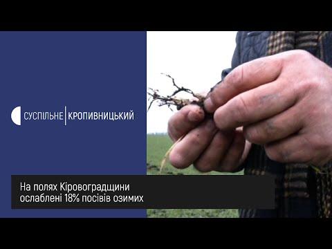 UA: Кропивницький: Ослаблені посіви озимих на полях Кіровоградщини