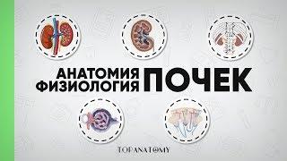 Анатомия и физиология почек. Нефрон