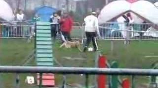 Agility Cattle Dog Open