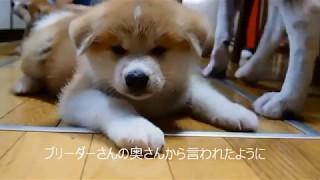 秋田犬銀河と子どもたちPart2