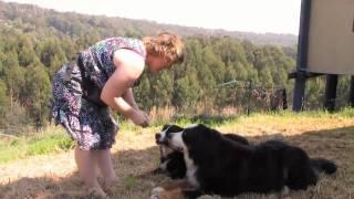Loki & Sasha - Bernese Mountain Dogs In Gippsland, Australia