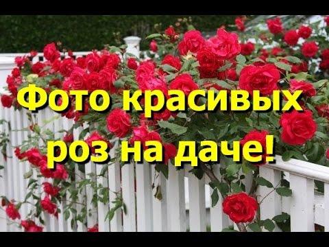 Самые красивые картинки цветов.Розы живые.