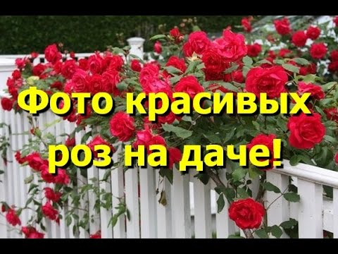 Любуемся фото красивых роз на даче