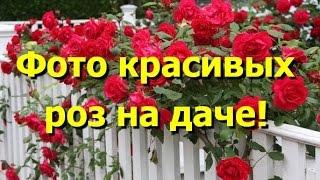 Любуемся фото красивых роз на даче(Дача без красивых роз невозможна. Роза - это королева цветов, и даже самый невзрачный участок этот цветок..., 2014-09-03T10:48:49.000Z)