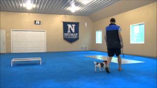 Bella (jack Russell Terrier) Boot Camp Dog Training Video