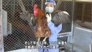 日本最大級の大きさを誇る、熊本の地鶏「天草大王(あまくさだいおう)...