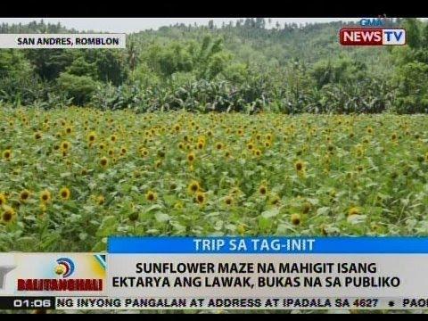 BT: Sunflower maze sa Romblon na mahigit isang ektarya ang lawak, bukas na sa publiko