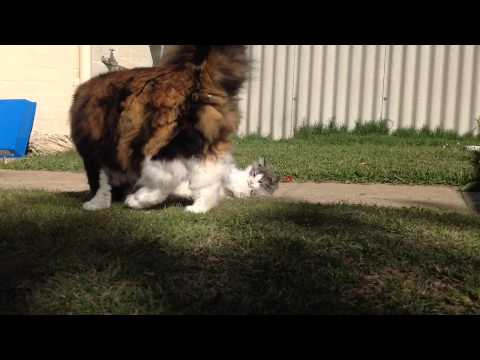 Norwegian Forest Cat - Jade and Pearl play fighting  *720HD*