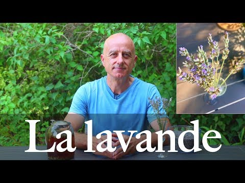 Lavande (Lavandula angustifolia): calmante et tonifiante
