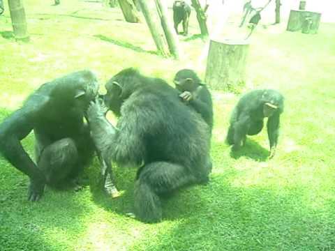 Chimpanzé - ZOO de São Paulo