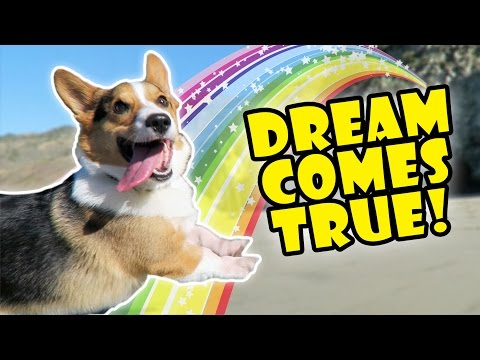 CORGIS DREAM COMES TRUE -- Best Day Ever! || Life After College: Ep. 525