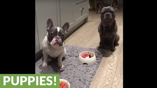Disciplined puppies wait for permission to eat breakfast
