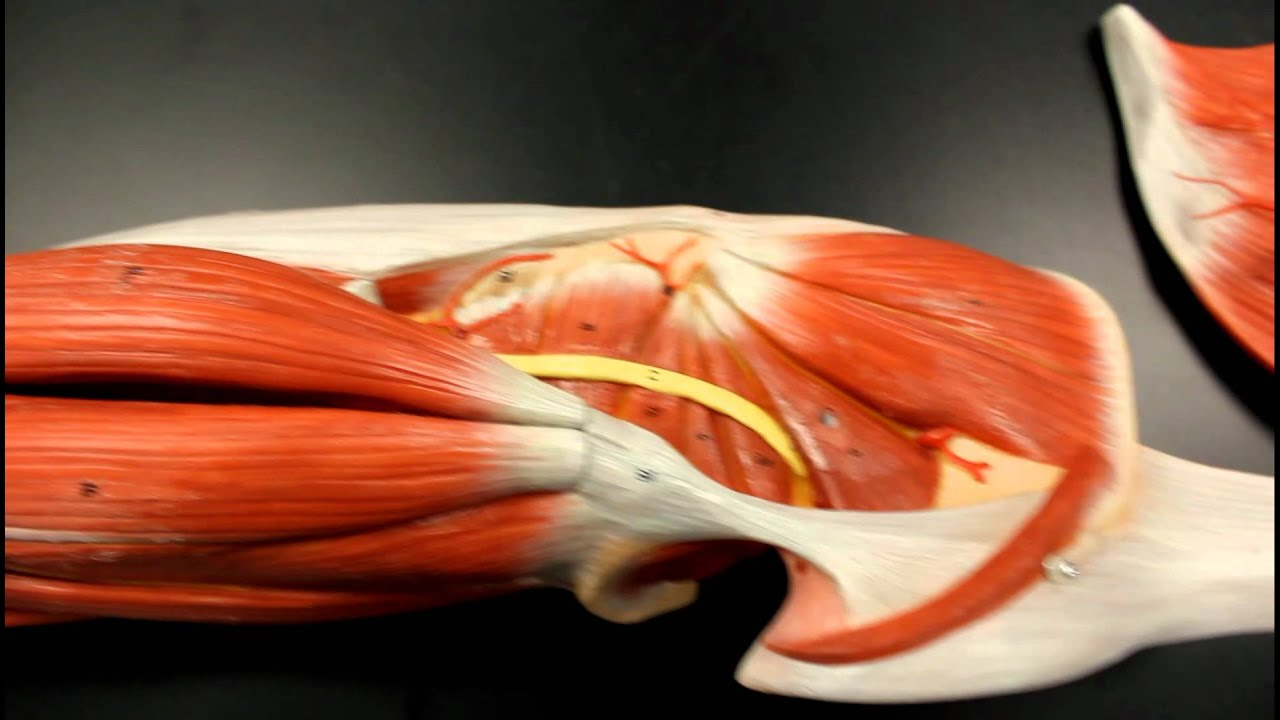 MUSCULAR SYSTEM ANATOMY: Gluteal region muscles model description ...
