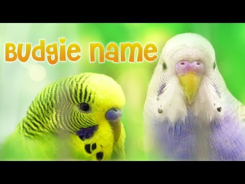 Budgie Names - The Meaning of the Word Budgerigar