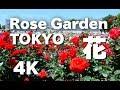 [4K]TOKYO  神代植物公園のバラ  Rose in Jindai Botanical Garden バラの名所 東…