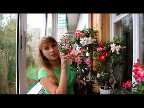 Адениум: обильно цветет адениум из семян. Красивые цветы дома на балконе