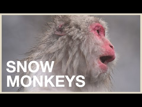 Visiting The Japanese Snow Monkeys: Cutest Animals In Japan (trip)