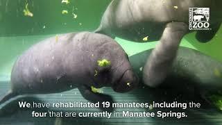 Manatee Springs is 20 Years Old - Cincinnati Zoo