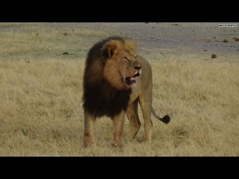 'Cecil the Lion' sparks vegan to ask hunter: Why do you kill?